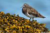 Black Turnstone,Qualicum Beach(British Columbia)
