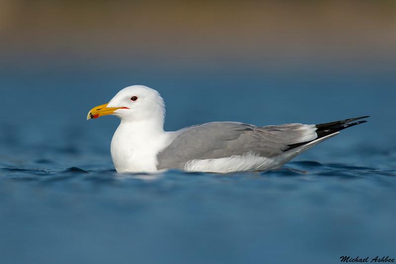 California Gull,Victoria,B.C.