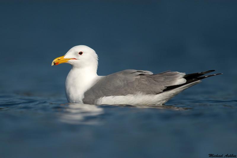California Gull,Victoria B.C.