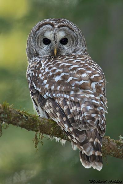 Barred Owl,Victoria,B.C.
