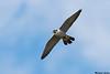 Peregrine Falcon with Least sandpiper,Victoria,B.C.