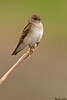 Northern rough-winged Swallow,Victoria,B.C.