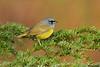Mac Gillivray's Warbler,Victoria,B.C.