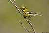 Townsend's Warbler,Victoria,B.C.