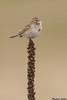 Vesper's Sparrow,Osoyoos,B.C.