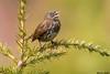 Fox Sparrow,Parksville,B.C.