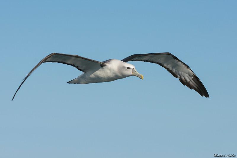 New Zealand White-capped Mollymawk