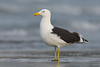 Southern Black-backed Gull