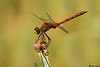 Whitefaced Meadowhawk,Burns bog,B.C.