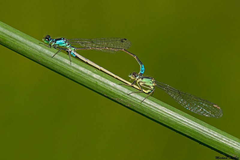 Pacific Forktail,Victoria,B.C.