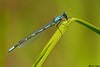 Bluet species,Cultus lake,B.C.