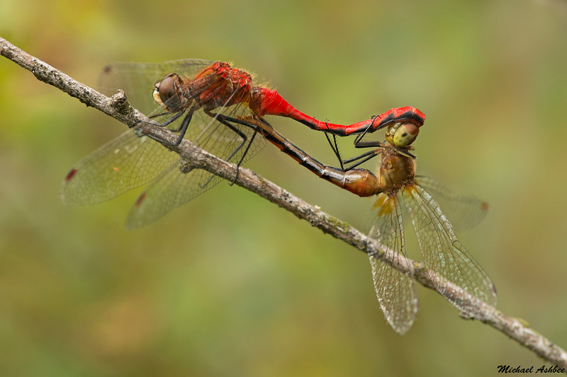 White-faced Meadowhawks,Mission,B.C.