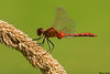 Cherry-faced Meadowhawk,Mission,B.C.