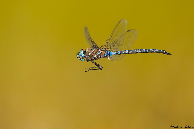 Variable Darner,Hamilton marsh,B.C.