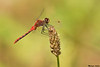 Cherry- faced Meadowhawk,Mission,B.C.