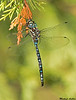 Paddle-tailed Darner with prey,Cypress P.P.,B.C.