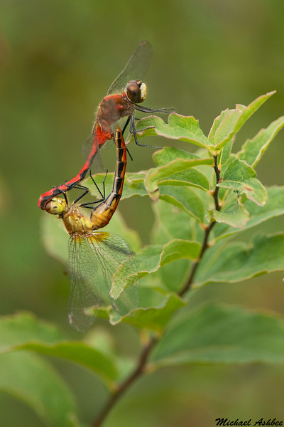 Whitefaced Meadowhawks,Bowser,B.C.