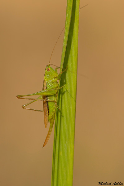 Pacific Meadow Katydid,Victoria,B.C.