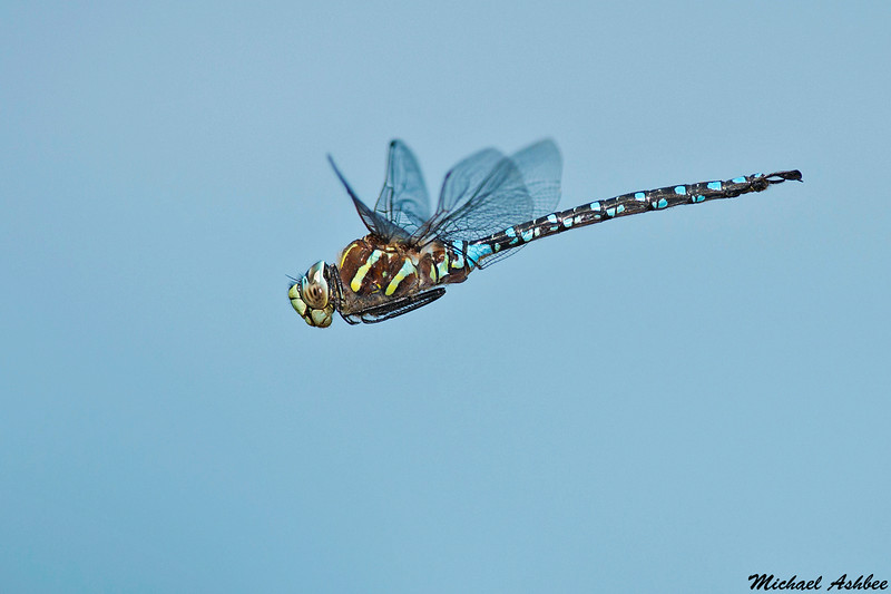 Paddle-tailed Darner,Burns bog,B.C.