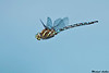 Paddle-tailed Darner,Burns bog,B.C.