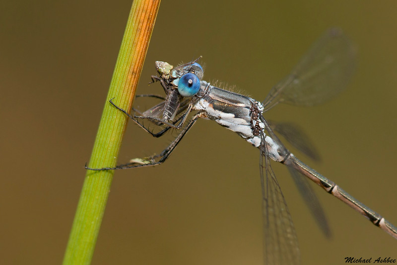 Northern Spreadwing,Nanaimo,B.C.