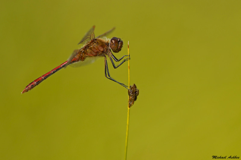 Saffron-winged Meadowhawk,Bowser,B.C.