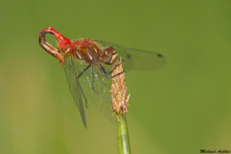 Striped Meadowhawk(Sperm transfer),Victoria,B.C.
