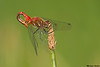 Striped Meadowhawk(Sperm transfer),Victoria,B.C.