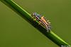 Ladybug grub,Victoria,B.C.
