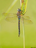 Paddle-tailed Darner,Mission,B.C.
