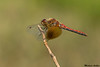 Band-winged Meadowhawk,Mission,B.C.