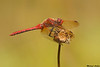 Red-veined Meadowhawk,Nanaimo,B.C.