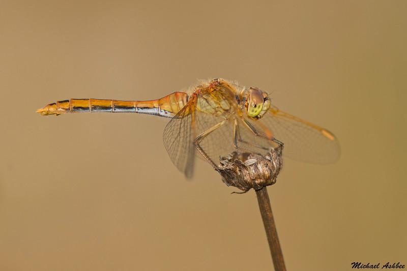 Saffron-winged Meadowhawk,Nanaimo,B.C.