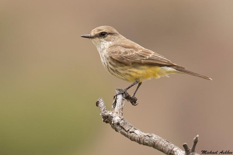 Vermillion Flycatcher,Patagonia,Arizona