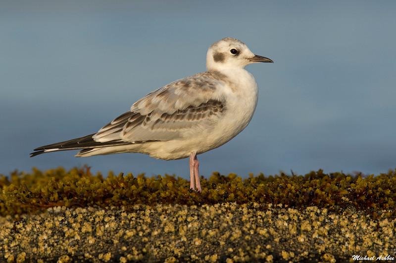 Bonapartes Gull,Hornby Island,B.C.