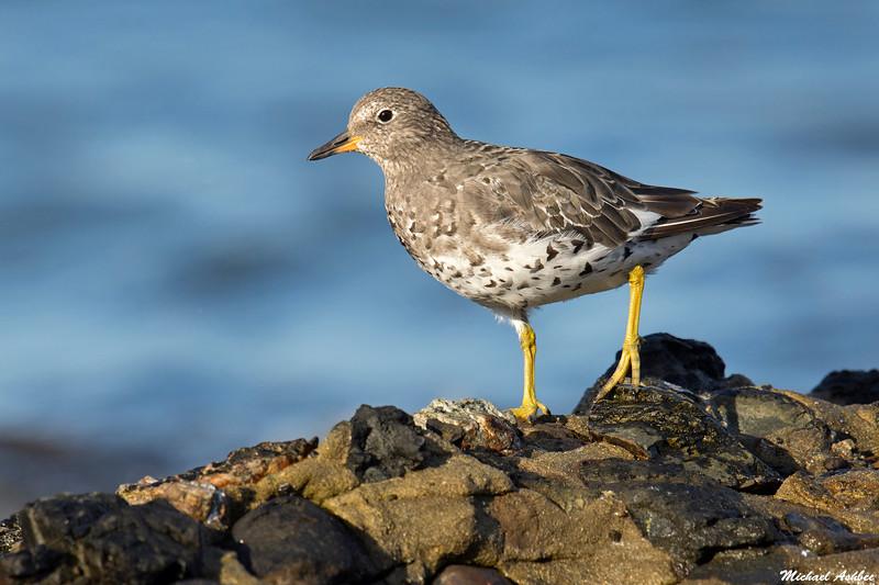 Surfbird,Hornby Island,B.C.