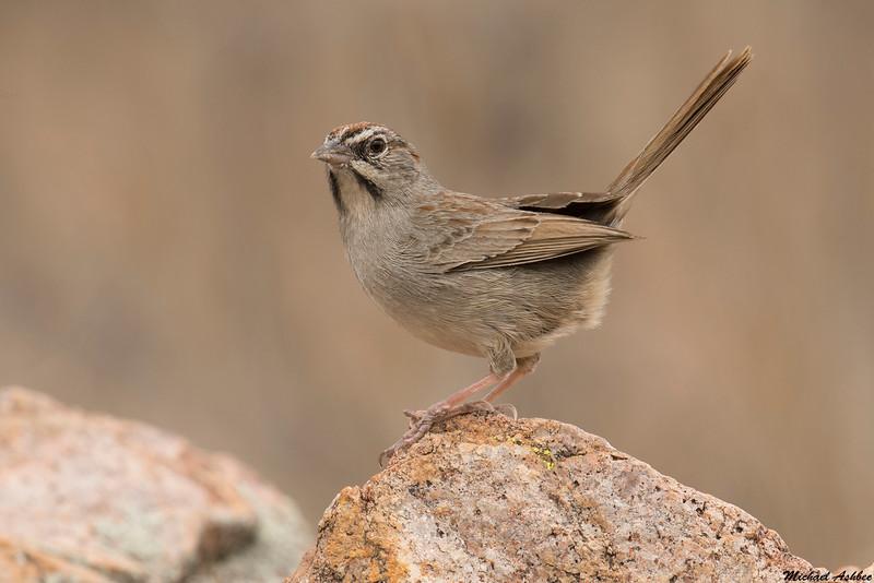 Rufous-crowned Sparrow,Patagonia,Arizona