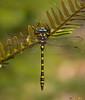 Pacific Spiketail,Victoria,B.C.