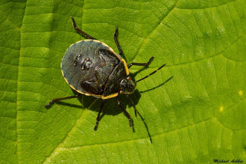 Stink Bug,Victoria,B.C.