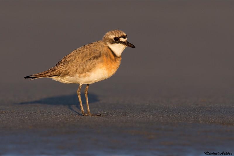 Lesser Sand Plover, Ocean Shores, WA