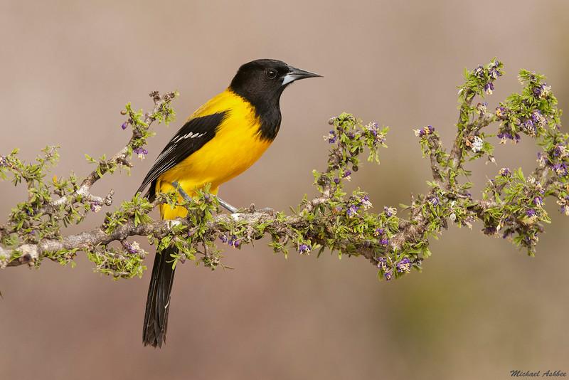 Audubon's Oriole,McAllen,Texas(2011)