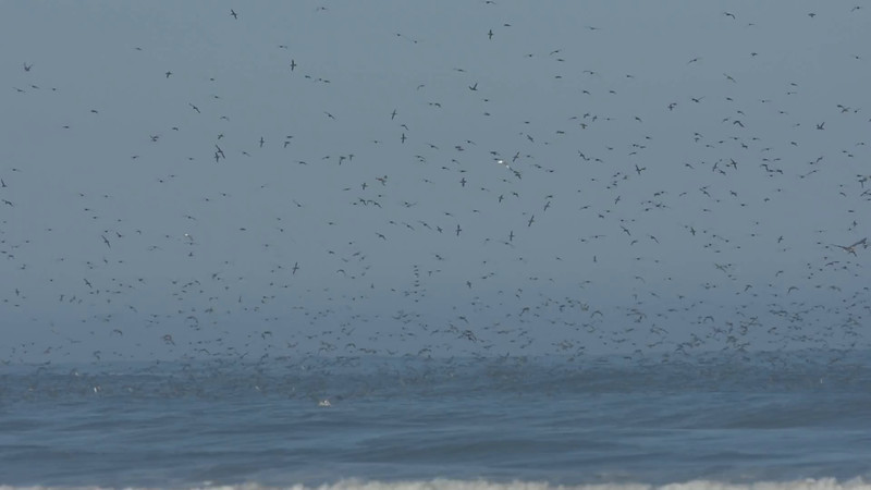 Sooty Shearwaters,Ocean shores,WA