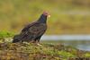 Turkey Vulture,Hornby Island,B.C.
