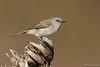 Gray Warbler