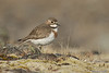 Banded Dotterel(female)