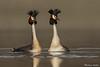 Australian Crested Grebes