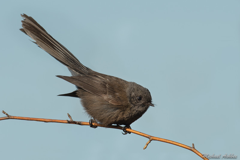 New Zealand Fantail(Black Morph)