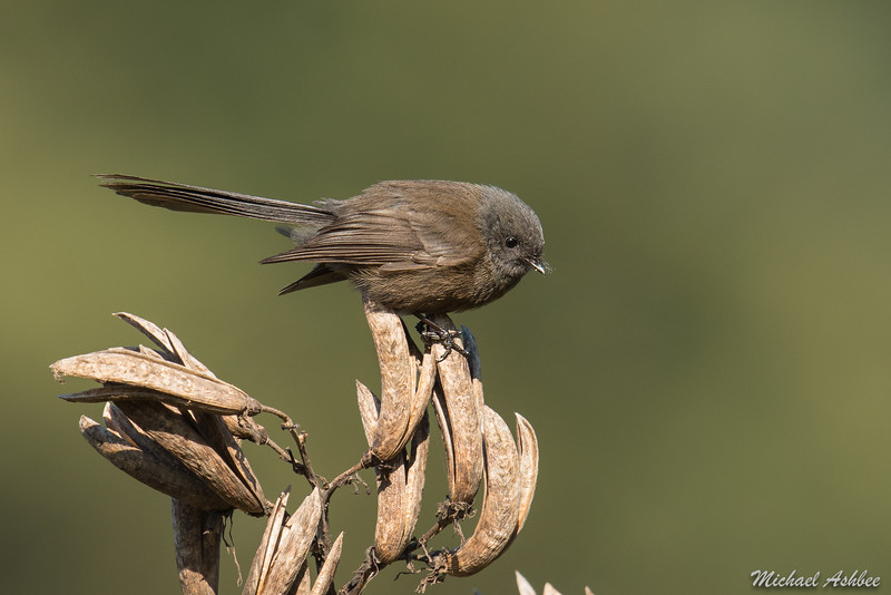 New Zealand Fantail(black morph)