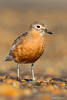 New Zealand Dotterel (Southern subspecies)