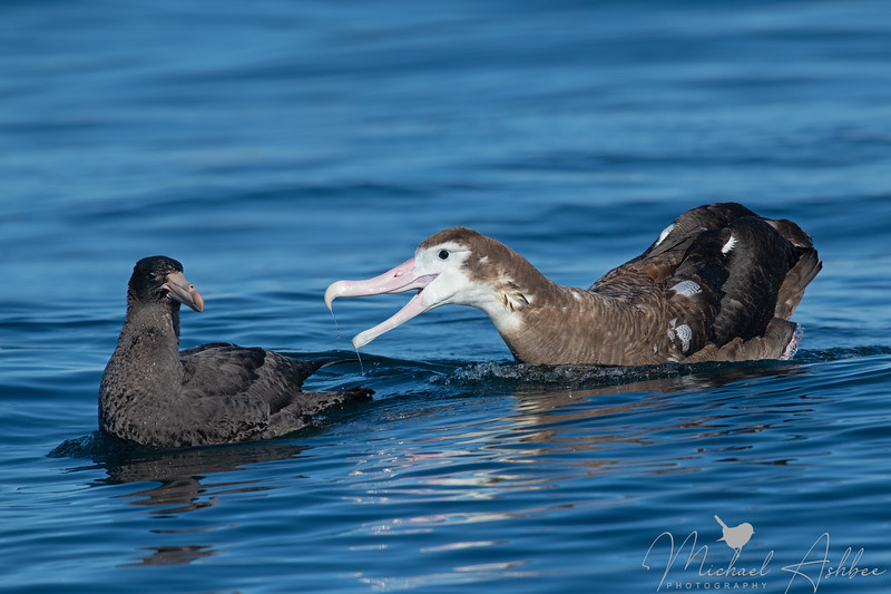 Wandering Albatross and Northern 'Giant' Petrel